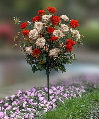 Never seen 2 color roses on one tree! Gotta get some later...!  Red & White Rose Tree  by Cottage Farms Direct