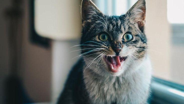 Qué alergias tienen los gatos y como solucionarlas @mundodeportivo El modo más sencillo y visible de detectar una alergia es por el rascado constante del animal.