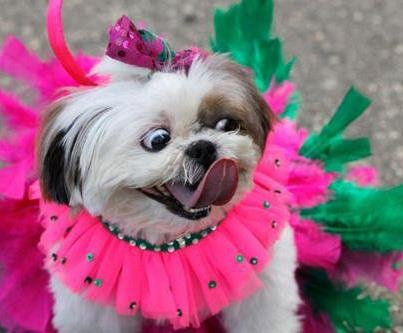 Someones in the mood for a Carnival!: Pet Parade, Animals, Dogs, Rio De Janeiro, Carnivals, Pets, Shih Tzu, Mardi Gras