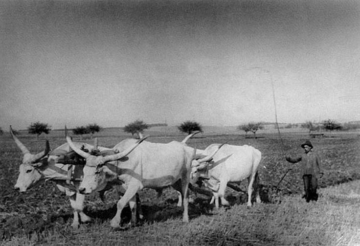 Szántás négy ökörrel, Öreglak (Somogy vm.) 1933.