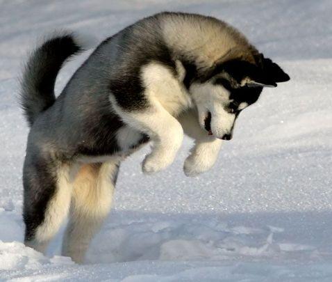 husky pomeranian mix | Pomsky Pictures About Pomeranian Mixed With Husky