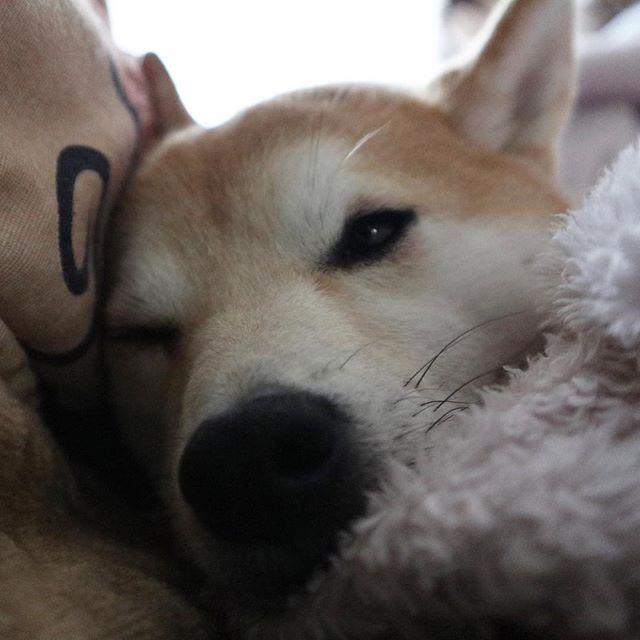 . こたつだしました。 いつかこたつに潜って寝るのかな。 今はこたつ布団に挟まれて眠ってる .  #canonm6#ミラーレス一眼#ミラーレス一眼初心者#camera#撮りたいものを撮ってみる #dog#shiba#shibadog#shibainu#mysweetie#shibamania#mydear#愛犬#わんこ#柴犬のいる生活#柴犬#しばいぬ#ふわふわ#犬バカ#親バカ#かわいい##わんここめ #こたつ#ぬくぬく#眠そうな犬#眠る犬#winter#冬#☃️