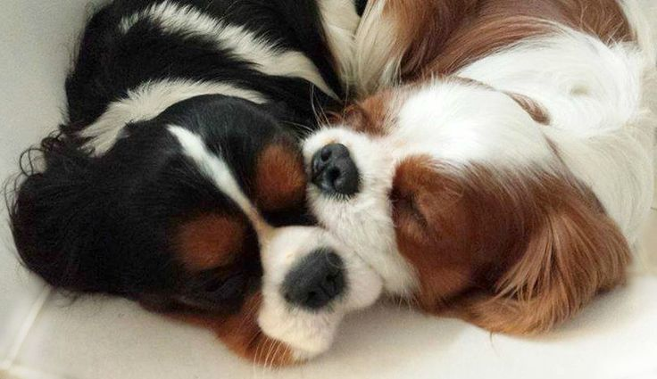 Cavalier snuggles...my Lily looks like this when she snuggles up with me or her toys
