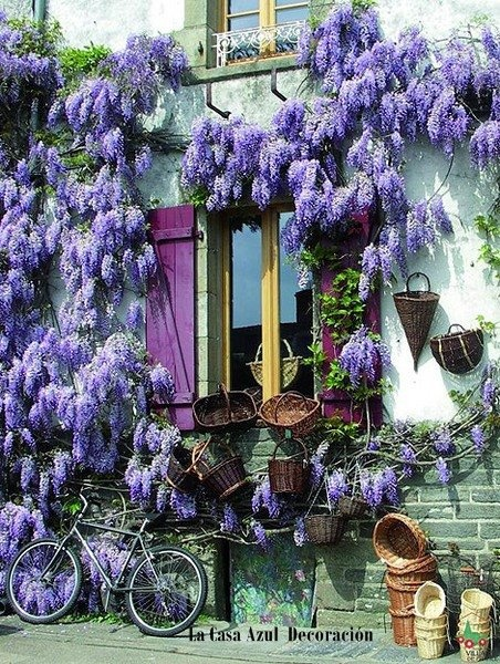 amazing !!: Burgundy France, Purple, Window, Color, Wisteria, Brittany France, House, Photo, Flower