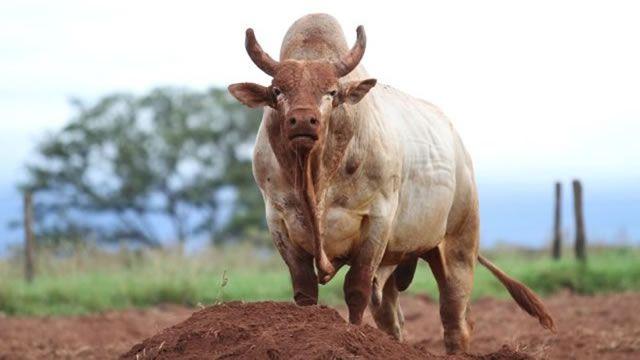 O NOVO MORADOR DA FAZENDA - Um estancieiro de Mato Grosso tinha uma grande fazenda com 900 vaquinhas, e três touros sortudos que davam conta delas...