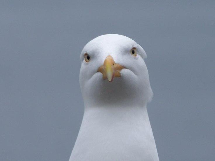 A curious gull