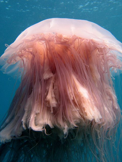 Lion's Mane Jellyfish | Lion's Mane Jellyfish | Flickr - Photo Sharing!