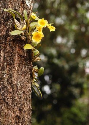 Orquídea em vaso? Não, na árvore! Veja dicas de como afixar e cuidar - Casa e Decoração - UOL Mulher