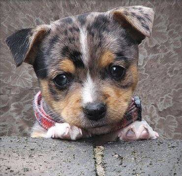 Auto Insurance Companies Quotes >> Jack Russell Chihuahua Mix | Holy Cow That's Adorable ...