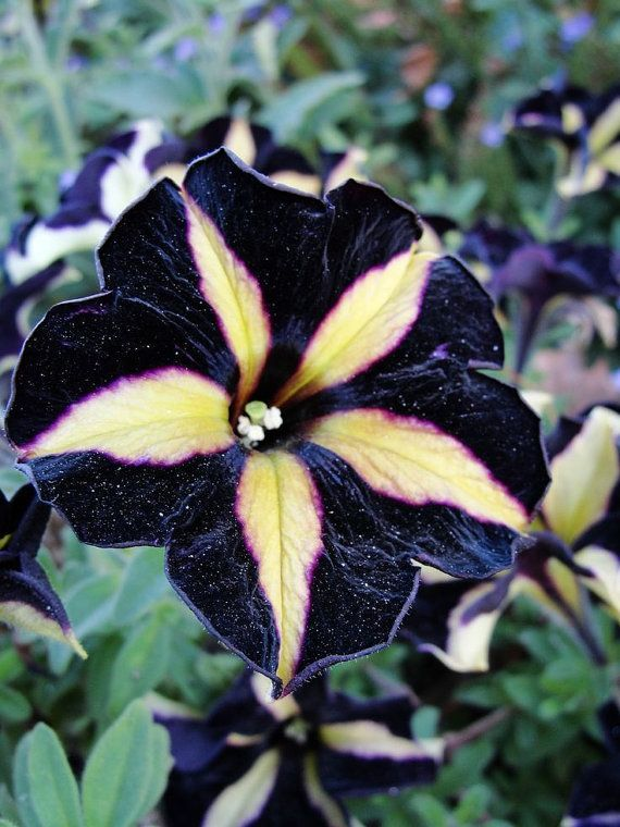 how to get seeds from petunias