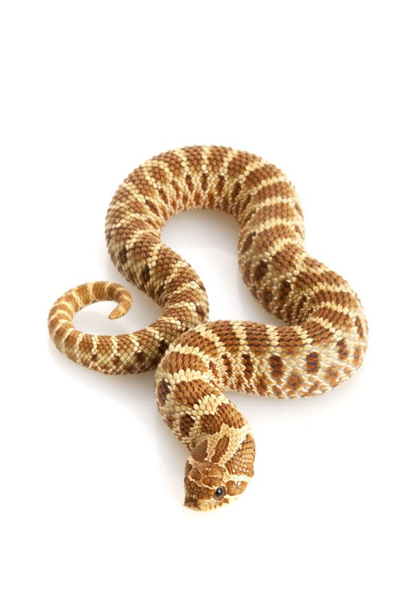 western hognose snake care sheet !