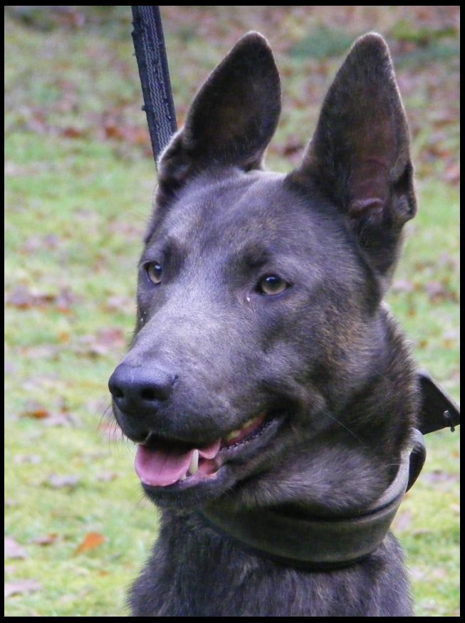 Blue Dutch Shepherd Dutch Shepherd Forum Dutch