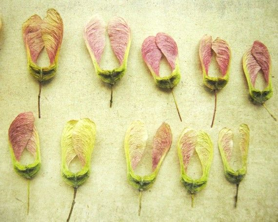 maple tree seed pods: Seed Pods, Natural History, Maple Seed, Pink Wings, Nature Collection, Fine Art Photography, Nature Photography