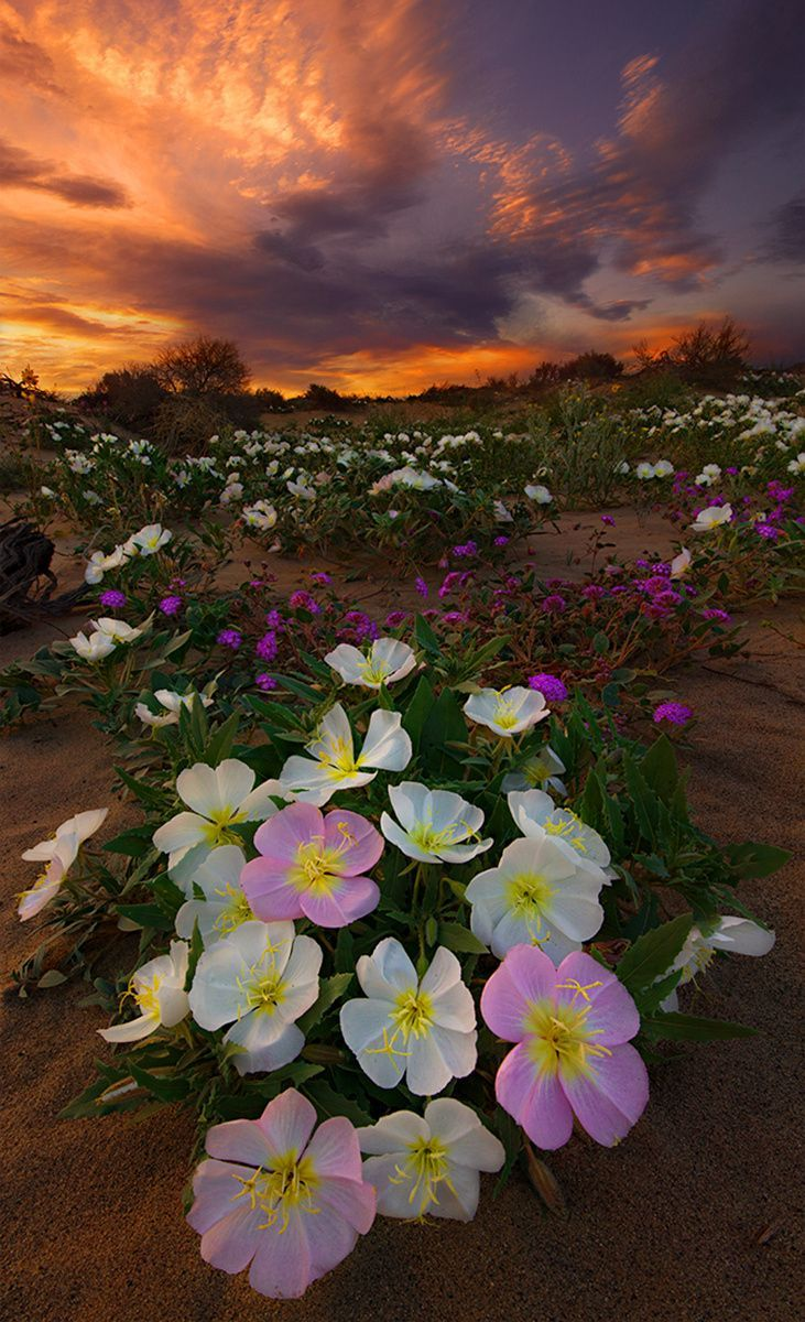 gyclli.tumblr.com| Beautiful Desert Flowers-- These beds of lovely pastel colored flowers, spotted all around the desert floor, make a truly gorgeous photo.