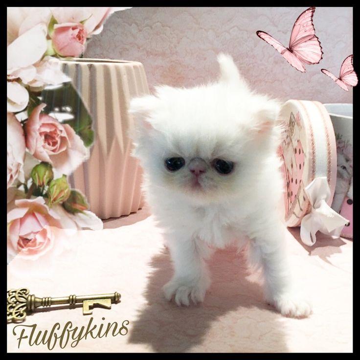 Fluffykins Arlin Orange Eyed White Persian  Kitten 4 weeks old