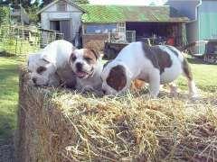 aussie bulldog | puppies for sale Wildes Meadow New South Wales | Australian Bulldog dogs for sale in Australia - http://www.pups4sale.com.au/dog-breed/665/Australian-Bulldog.html