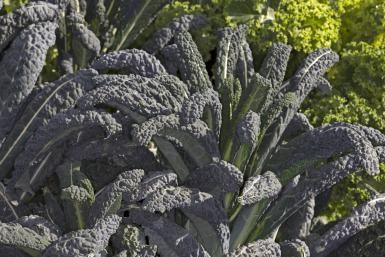 All About Tuscan (Lacinato) Kale, with Recipes: Black-Leaf/Tuscan/Lacinato/Dinosaur Kale