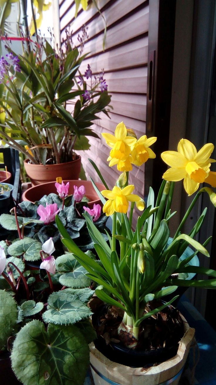 Narcissus (Daffodil) and cyclamen