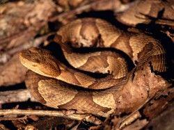copperhead snake venomous httpanimaltrappingremovalcomslide