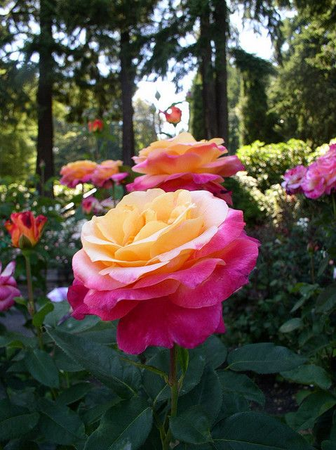 International Rose Test Gardens, Portland.