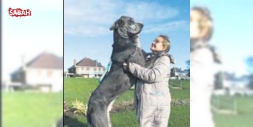 """Dünyanın en büyük köpeği : İngilterede yaşayan 92 kiloluk ve 2.28 metre boyundaki """"Freddy"""" isimli köpek resmen dünyanın en büyük köpeği oldu. Guinness Rekorlar Kitabına dünyanın en büyük köpeği unvanıyla adını yazdıran Feddynin...  http://www.haberdex.com/dunya/Dunyanin-en-buyuk-kopegi/132442?kaynak=feed #Dünya   #büyük #köpeği #Kitabı #Rekorlar #Guinness"""