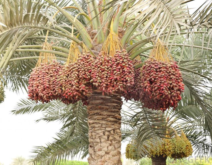 Trait: Food. In the photo above is a picture of a date palm tree in a desert oasis. The date palm is a popular staple in the Emirati diet dating back over 7000 years ago. The ancient Emiratis would build their homes on desert oases where the date palms would grow. The sweet date palms are packed with carbohydrates, sugars, and fiber, in plentiful bunches this fruit was an essential part of an Emirati's diet. The fruit stems were also woven into baskets and other tools.