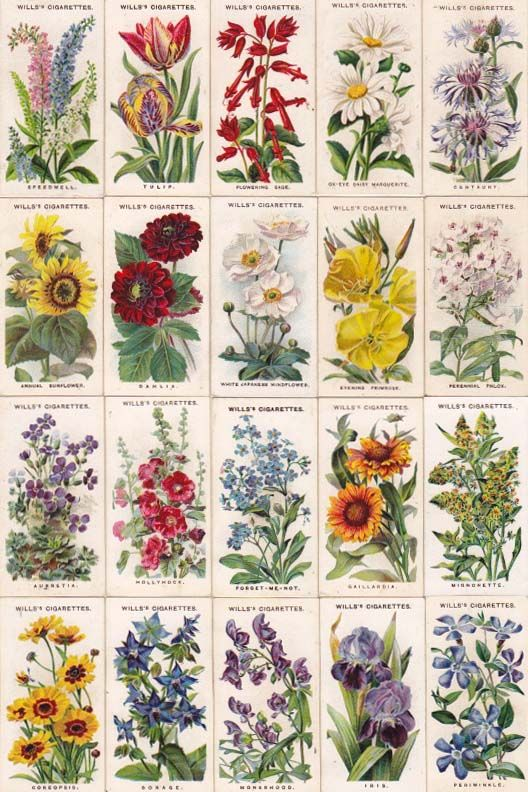 cigarettes card-Old English Garden Flowers