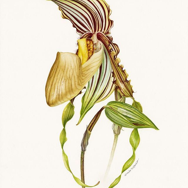 """Good news to share! 🎉 I've just been accepted to 15th Internasional Exhibition of Botanical Art & Illustration at the Hunt Institute for Botanical Documentation. It will be held in Pittsburgh, Fall 2016.  I deeply thank Valerie Oxley, chairman of The Florilegium Society at Sheffield Botanical Gardens, who kindly recommended my work to the Curator of Art and kept encouraging """"the not very confident"""" me to take part in one of the most prestigious botanical exhibition. I really feel humbled to…"""