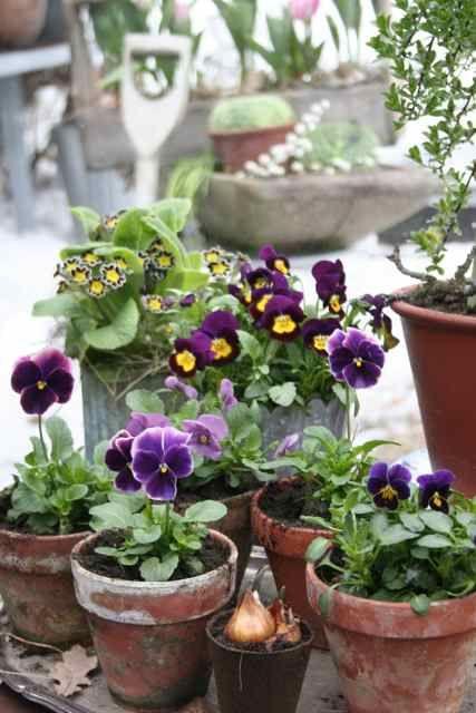 Viola & primula. Its spring!