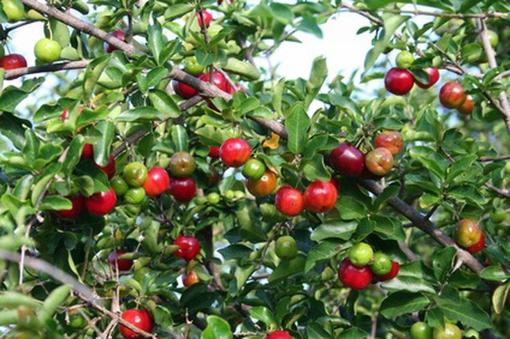 ¿Cuáles son los beneficios de la cereza acerola? | Muy Fitness