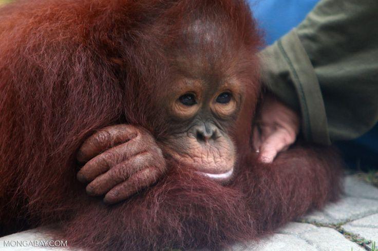 Orphaned Orangutan in Central Kalimantan