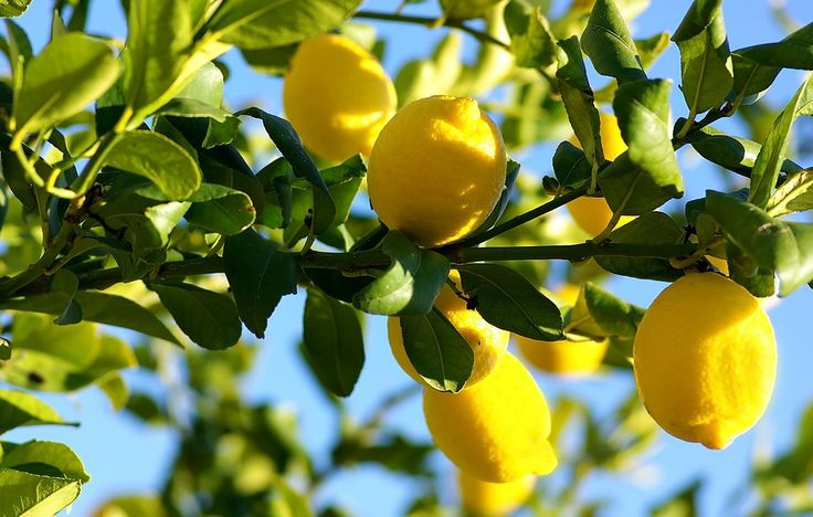 ❤❤❤ Copyrights unknown. Lemon tree.