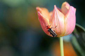 Bug On Tulip - stock photo