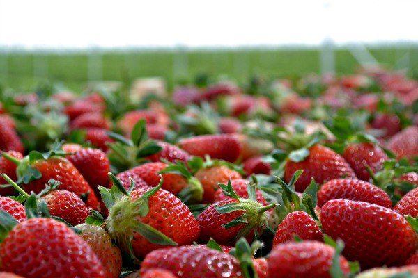 Campo de fresas, Rancho La Quina, Irapuato, Gto. Strawberry field at Rancho La Quina. Irapuato, Guanajuato.