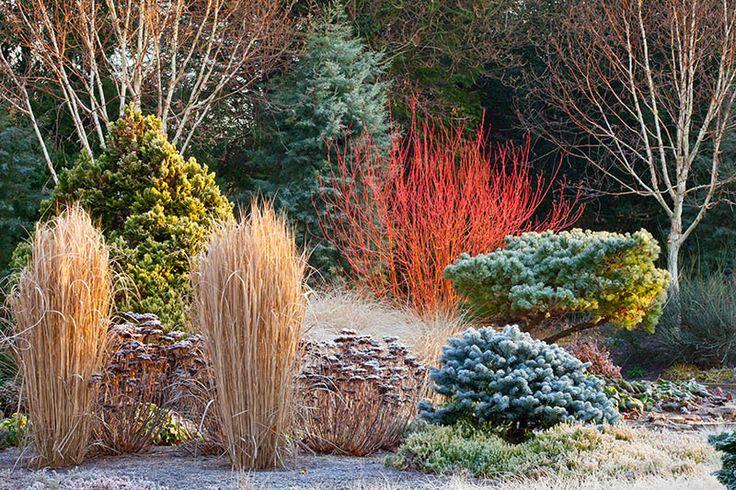 Winter kleuren in de tuin met evergreens, cornus en siergras #winterflowering #frosty #garden photography #gardens