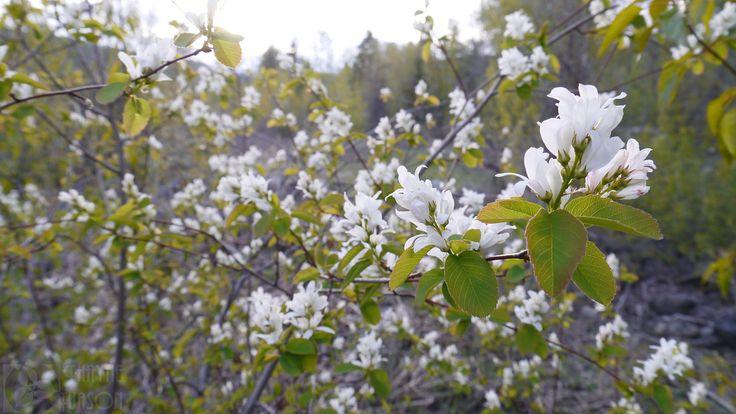 Saskatoon Serviceberry (Amelanchier alnifolia var. alnifolia) (by Thayne Tuason)
