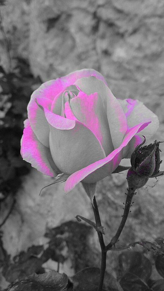 Come se fosse una rosa