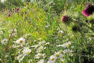 Website van Ecoflora, ecologische kwekerij en tuincentrum. Tips en zaaimengsels voor bloemenweiden. #bloemenweide