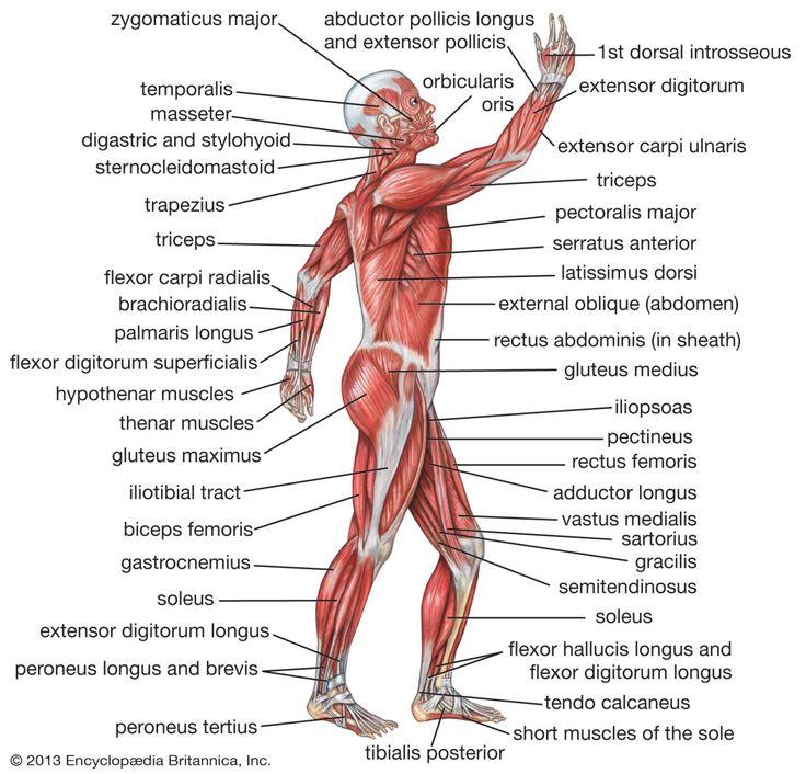 Großzügig Anatomie Des Menschen Michael Mckinley Ideen - Anatomie ...