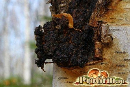 Гриб чага. Кладезь народного лечения: полезные свойства и описание древесного гриба чаги. Чага является удивительным природным творением. Этот гриб часто паразитирует на старых березах. Чага — один из наиболее …