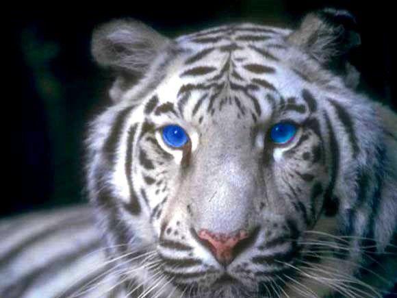 Snow Tiger Habitat   tigre blanc