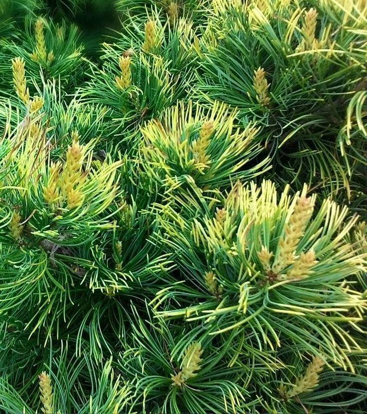Kigi Nursery - Pinus parviflora ' Goldilocks ' Variegated Dwarf Japanese White Pine, $20.00 (http://www.kiginursery.com/dwarf-miniatures/pinus-parviflora-goldilocks-variegated-dwarf-japanese-white-pine/)