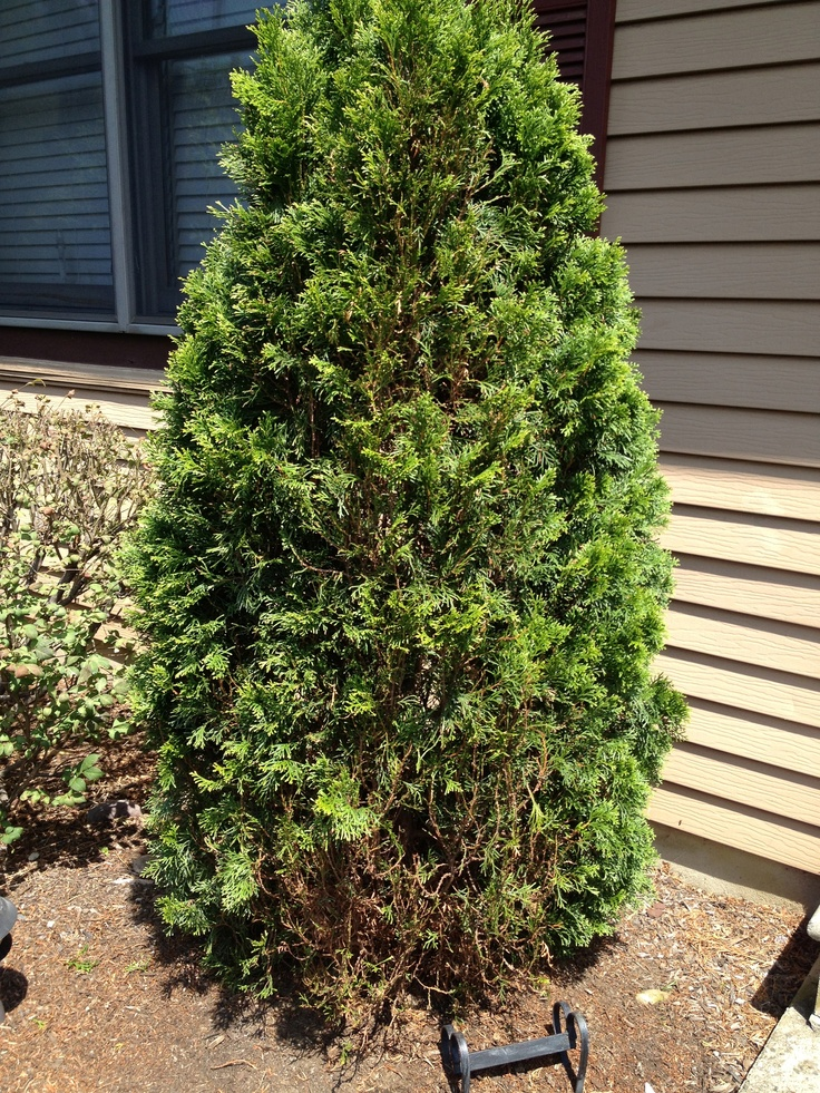 Bag worms starting to kill my Arborvitae. Look at bottom.