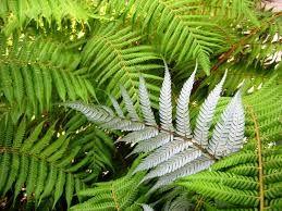 Silver Fern. Distinctive NZ symbol.