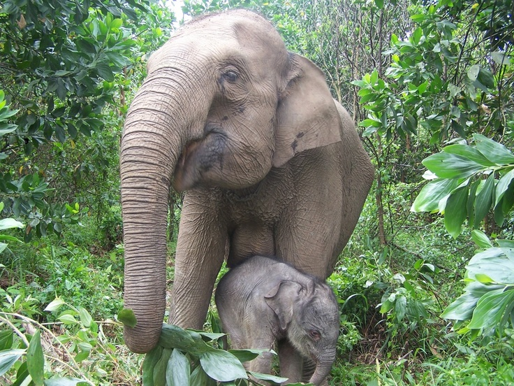 Sumatran Elephant | Animal Wildlife |Sumatran Elephant Endangered