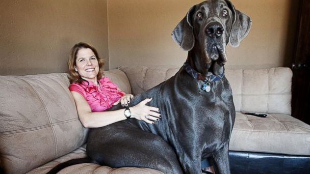 Giant George - The World's Tallest Dog Has Died