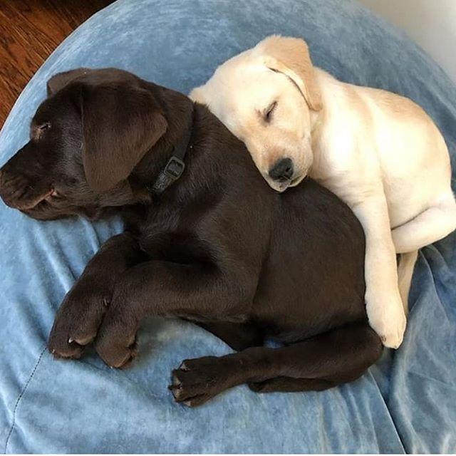 Sleeping Labrador Regram Via Generated In 2020 Dog Lovers Lab