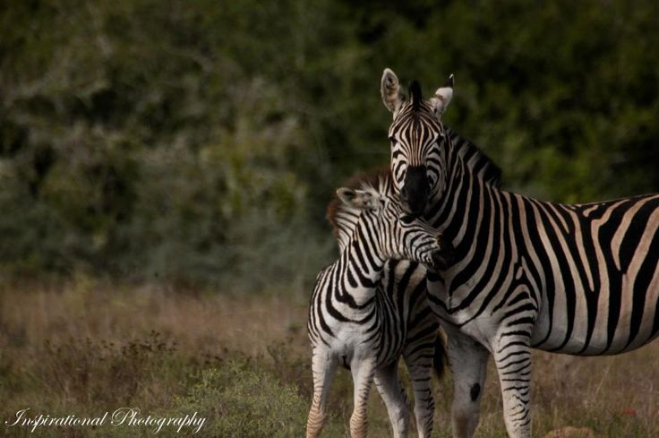 Motherly Love on the Amakhala Game Reserve - Photo Taken by Ranger Kyle Ansell