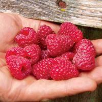 Joan J Primocane Red Raspberry from Stark Bro's