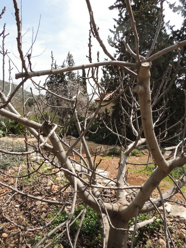 How To Prune Fruit Trees To Keep Them Small In 2020 Prune Fruit Fruit Trees Cherry Fruit Tree